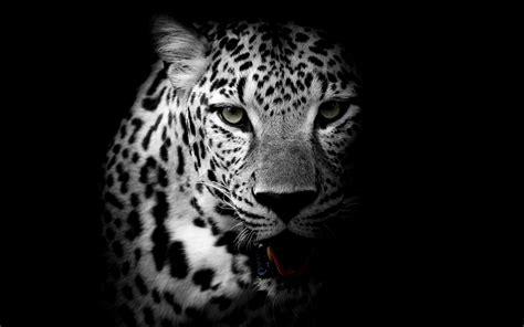 imagenes de jaguar blanco leopard 4k wallpapers hd wallpapers id 21099