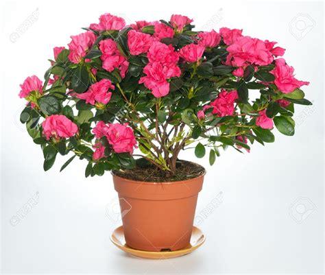 azalea vaso flowerpointargentina flores a domicilio p 225 ginas 5