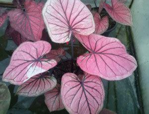 Tanaman Keladi Wayang macam macam tanaman keladi hias kebunpedia