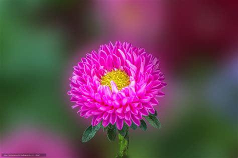 fiore astro scaricare gli sfondi aster fiore astro macro sfondi