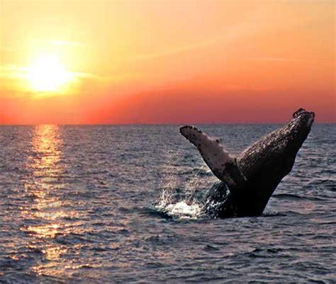 imagenes sorprendentes de ballenas las mejores fotos de ballenas im 225 genes de ballenas