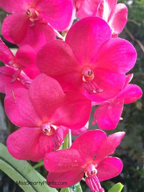 vanda orchids vanda orchids