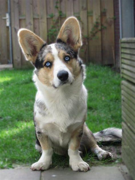 aussie corgi mix puppies for sale corgi australian shepherd mix puppies for sale breeds picture