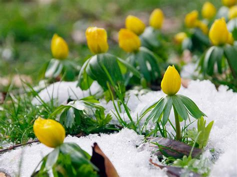 flowers that bloom only in winter how to grow winter aconites saga