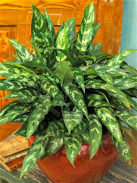 chinese evergreens let your houseplants live
