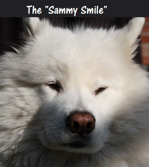 why do dogs smile why do samoyed smile daily discoveries