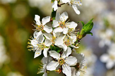 fiori di susino susino prunus domestica coltivazione e potatura