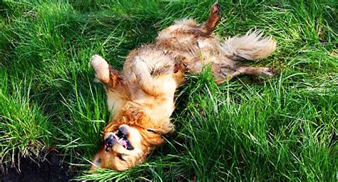 why do dogs roll in stinky stuff husky behavior issues bad behavior food aggression