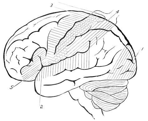 Brain Outline Lobes by File Psm V46 D659 Side View Of The Outline Of The Human Brain Jpg Wikimedia Commons