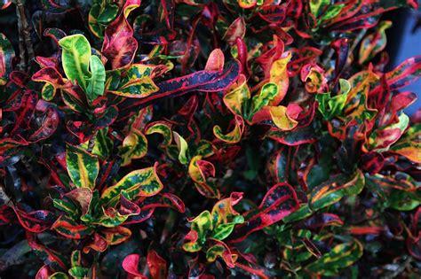Low Light Plants by Plants Amp Flowers 187 Codiaeum Variegatum
