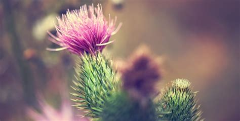 How Much Milk Thistle While On A Candida Detox by Top 10 Benefits Of Milk Thistle Activation Products