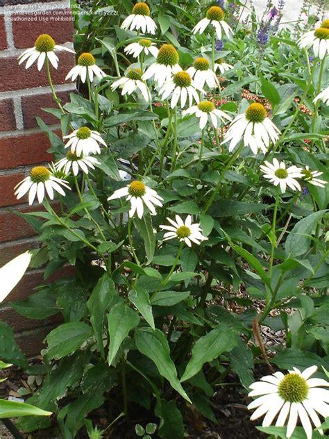 plantfiles pictures echinacea white coneflower white