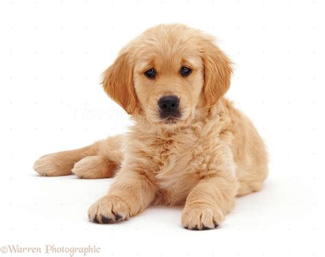 free golden retriever pups golden retriever puppies 4 free hd wallpaper dogbreedswallpapers