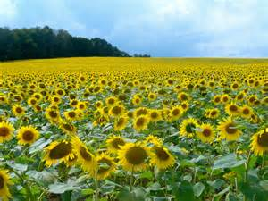 sunflower fields 301 moved permanently