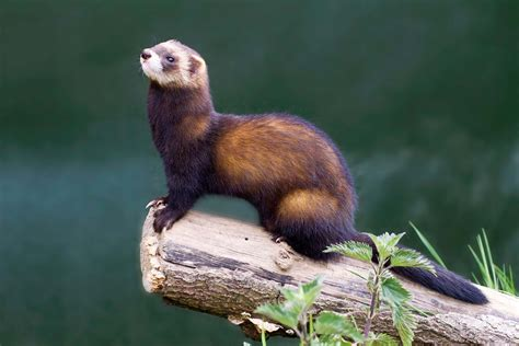 polecat facts history  information  amazing
