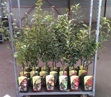 Patio Fruit Tree by Tree Shop Co Uk Patio Cherry Tree Sunburst