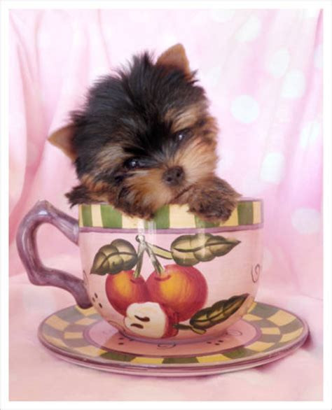 teacup yorkie for sale in ontario tiny size x teacup maltese puppies in ottawa ontario for sale breeds picture