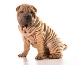 Dog chinese shar pei a young chinese shar pei puppy with lots of deep