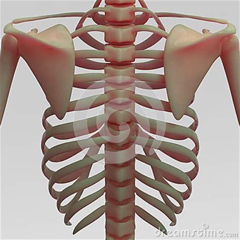 gabbia toracica umana costole e clavicola umane illustrazione di stock