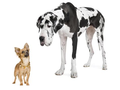 big dogs breeds study measures the expectancy cost of size among big breeds 171 animal health
