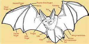 anatomy of animals coloring book anatomy of a bat the animal files
