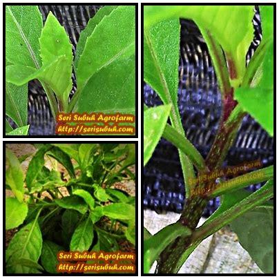 sambung nyawa hijau gynura procumbens jualan benih dan