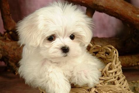 cutest puppies breeds best and cutest breeds breeds puppies