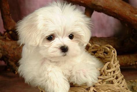 cutest puppy breeds best and cutest breeds breeds puppies