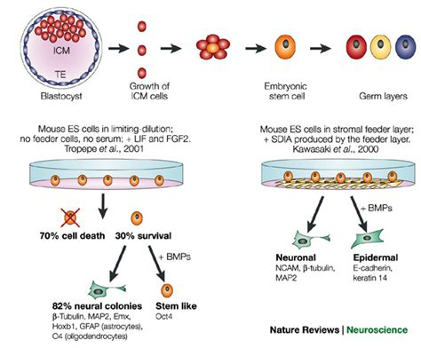Feeder Cells For Stem Cells figure 3 neural induction the default model and