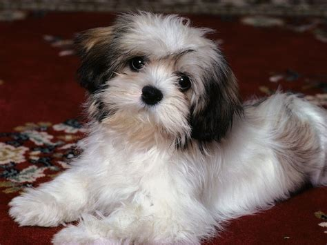 how to mate shih tzu dogs shih tzu breed standards