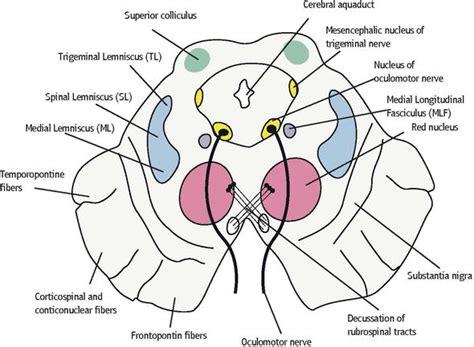 cross section of midbrain mesencephalon midbrain intechopen