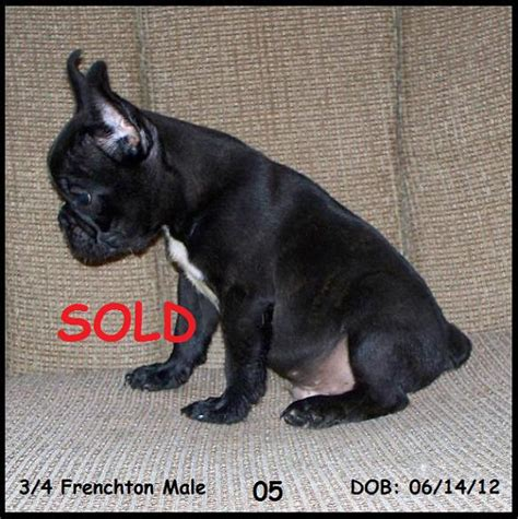 frenchton puppies for sale in alabama bulldog puppies for sale frenchton puppies breeds picture