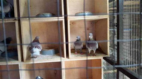 membuat rumah burung merpati cara membuat kandang burung merpati dari kardus membuat