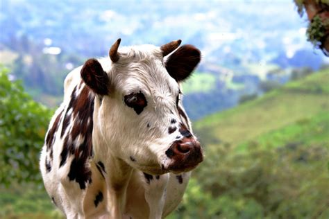 Sprei Cow cow free stock photos in jpg format for free 10 44mb