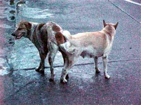 dogs stuck together still stuck together