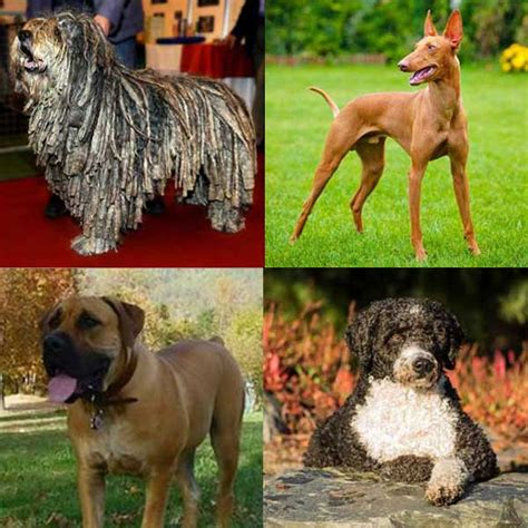 american kennel club breeds meet the american kennel club s four newest breeds