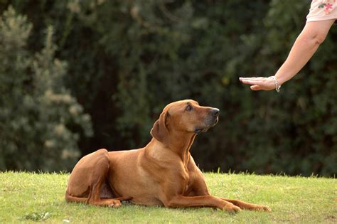 obedience for dogs 8 times your will benefit from obedience lessons themocracy