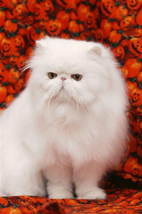 imágenes gif de amor para whatsapp gif c 243 mo ha crecido este gato persa gif 4212