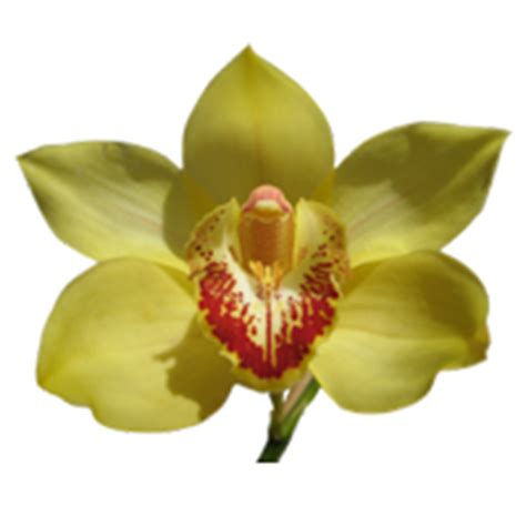 orchidea cymbidium non fiorisce orchidea cymbidium mignoloverde it
