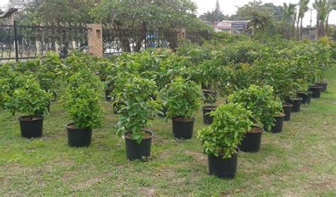 Jual Bibit Buah Kiwi bibit tanaman buah budi santoso