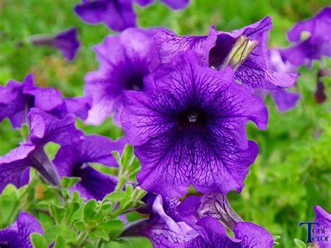 Agradable Plantas Para Mucho Sol #9: Petunia-1024x768.jpg