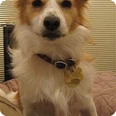 fox terrier pomeranian mix palatine il fox terrier pomeranian mix meet dixie a puppy for adoption