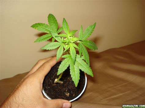 young male marijuana plant male cannabis plant how long till pollen page 2