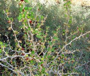 plants of southern california ribes velutinum and r