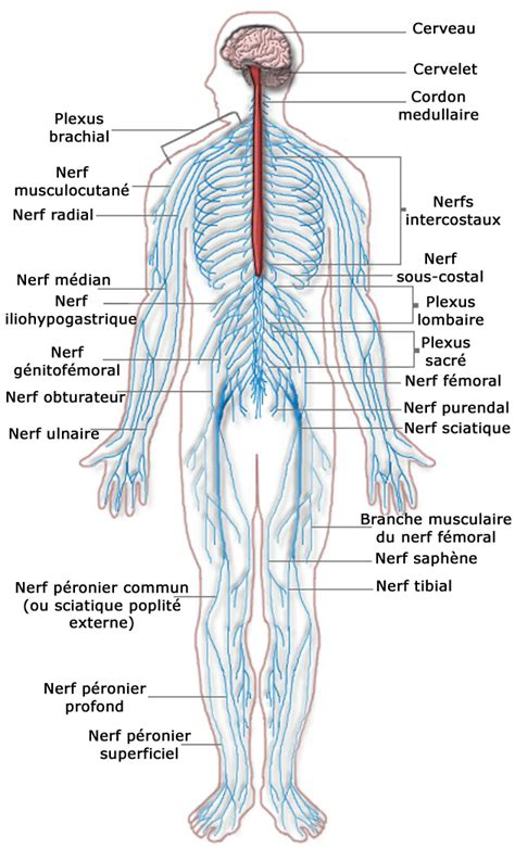 nerves of the human diagram http connected mcgraw hill school i7h8 myideasbedroom