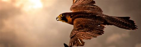 hawk flying wallpaper