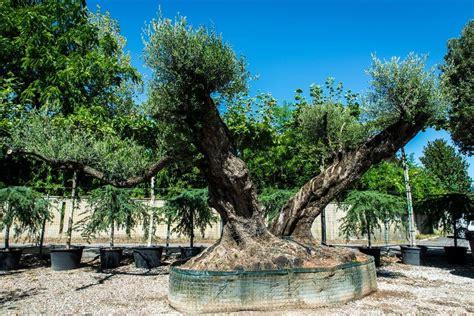 ulivi da giardino ulivi secolari da giardino ulivi secolari la sicilia nel