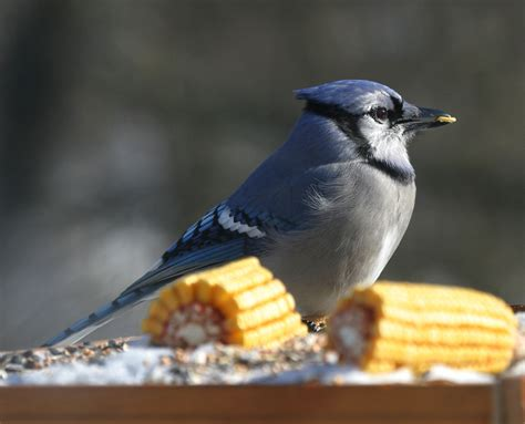 ohio bird photo collection blue jay