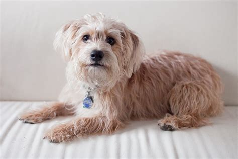 yorkie poo pictures yorkie poo puppies rescue pictures information temperament characteristics