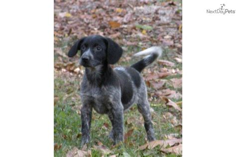 german shorthaired pointer puppies rescue german shorthaired pointer puppy for sale near battle creek michigan 80351a45 08f1